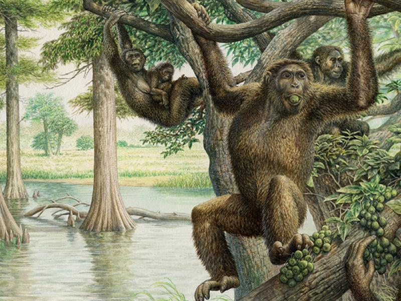 Ape-like Rudapithecus illustration courtesy of John Sibbick